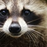 Raccoon Control in Winston-Salem, North Carolina
